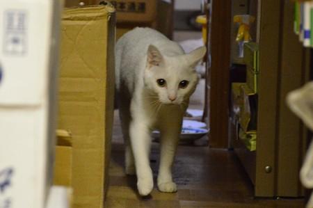 2016年8月20日のシロちゃん(雌3歳)