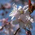 写真: エゾヤマザクラ開花^^♪