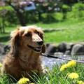 Photos: タンポポが咲き始めたワン♪