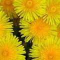 写真: 黄色い打ち上げ花火達
