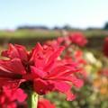 写真: シーシェルコスモス紅色に美しいく