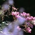 写真: 哀愁の秋薔薇