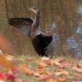 写真: カワ鵜の紅葉狩り