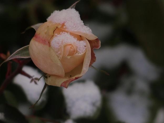 写真: 氷点下に咲く