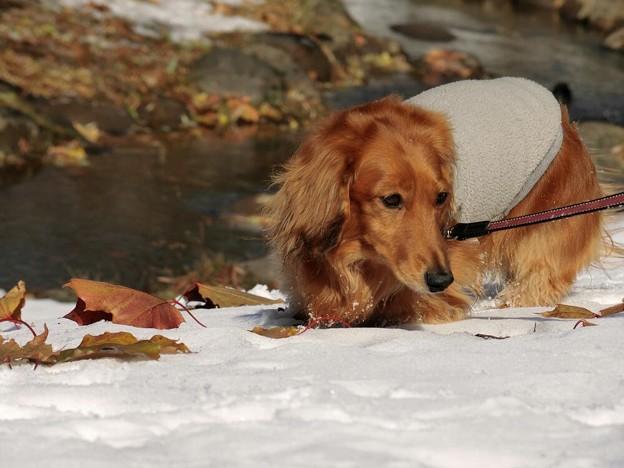 Photos: 雪の上の散歩だワン!