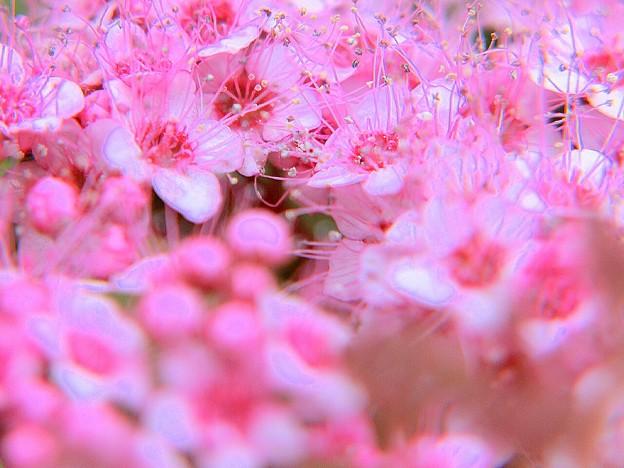 Photos: ピンクの線香花火^^弾ける雛アラレ~♪