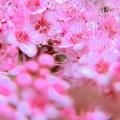 ピンクの線香花火^^弾ける雛アラレ~♪