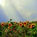 Photos: 天使が舞い降りるヒマワリ畑