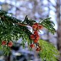 写真: 杉の花の輝き~♪
