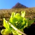 写真: 遠のく春~フキノトウが芽吹くのは何時?
