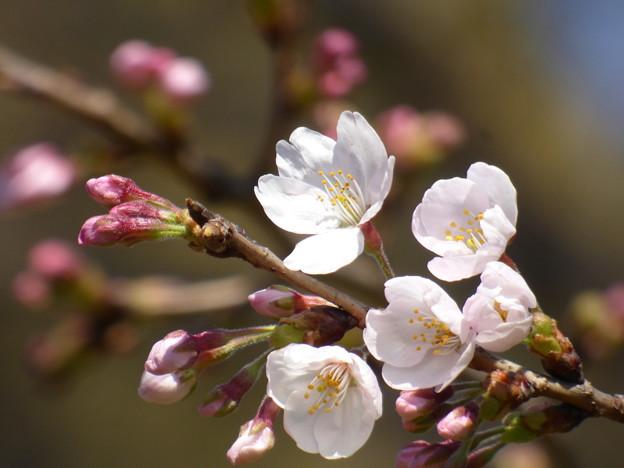 Photos: 飛鳥山の桜も開花 2017.3.22(2)