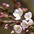 写真: 飛鳥山の桜も開花 2017.3.22(2)
