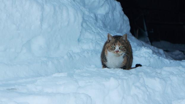 写真: 雪猫(1)