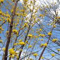 Photos: 春黄金花・1