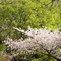 Photos: 若葉と桜