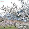 Photos: 梅見頃2