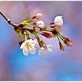 Photos: 咲かせて咲かせて