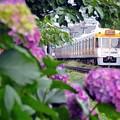 梅雨入り紫陽花
