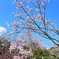 Photos: 桜色の空