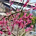 Photos: 春色沿線6