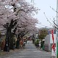 桜道 その2