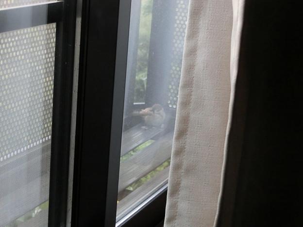 Photos: 泊まりに来たスズメ