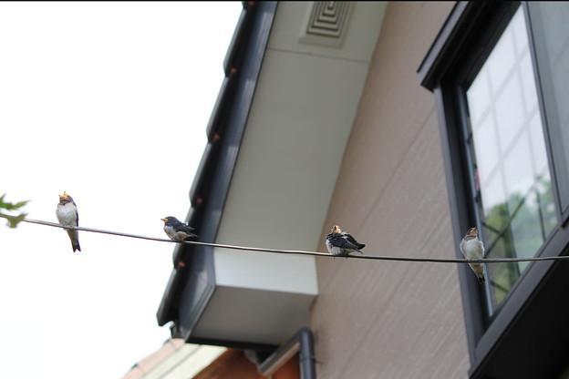 写真: 巣から電線へ