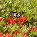 ツツジに来たアゲハ蝶
