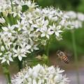 Photos: 男郎花の蜜を吸うハッチ