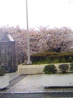 アイスタ信号手前の桜はかろうじて花が残っています。スタまでの坂の...