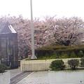 Photos: アイスタ信号手前の桜はかろうじて花が残っています。スタまでの坂の...