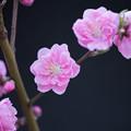 Photos: 【保木のハナモモ】8