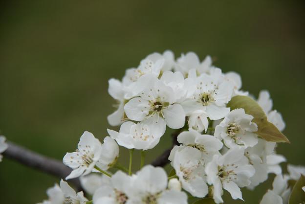 【花菜ガーデン(ナシ:あけみず)】2