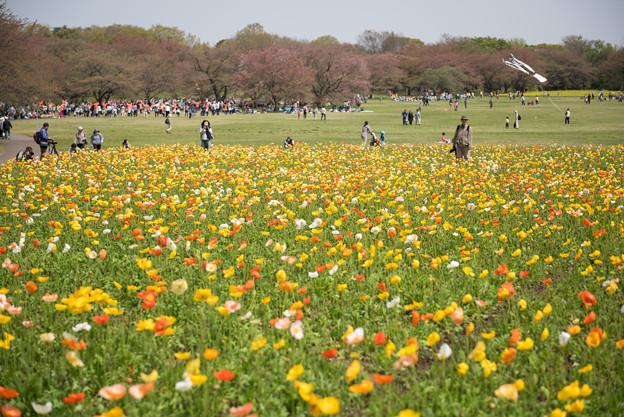 【昭和記念公園(ポピー)】3