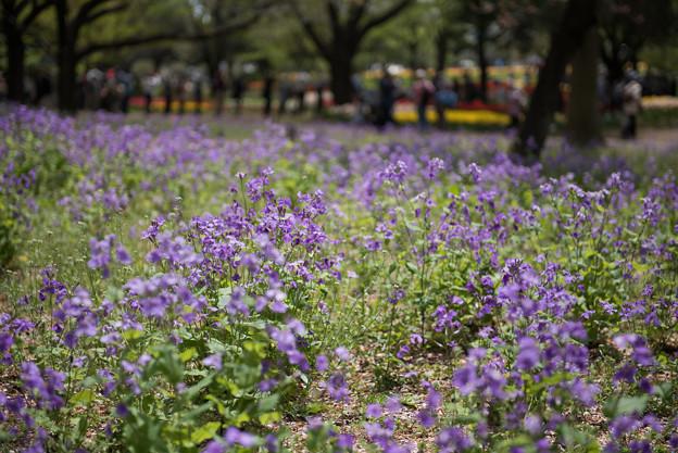 【昭和記念公園(ムラサキハナナ)】2