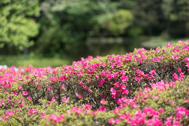 【神代植物公園(ツツジ)】5
