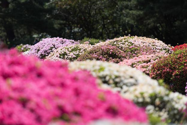 【神代植物公園(ツツジ)】9