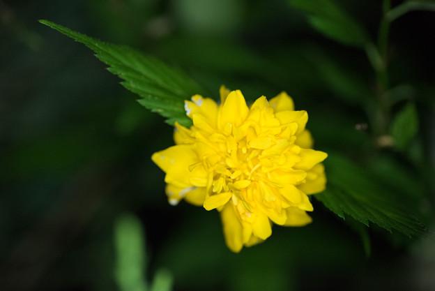 【庭の花(ヤマブキ)】