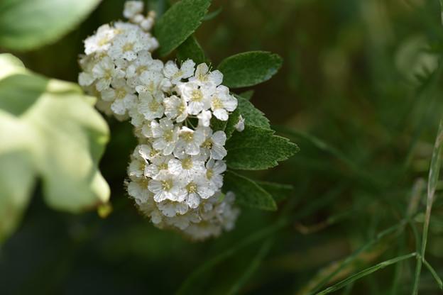 【庭の花(コデマリ)】2