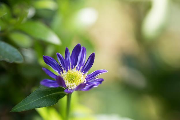 【庭の花(ミヤコワスレ)】