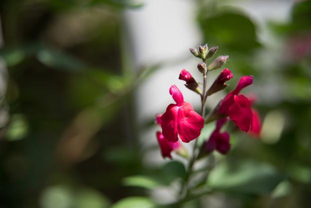 【庭の花(チェリーセイジ)】2