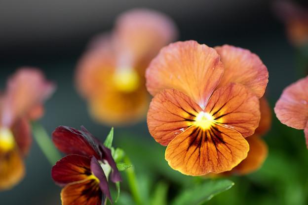 【庭の花(スミレ)】