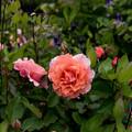 Photos: 【花菜ガーデン(ギー・サヴォア)】
