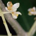【オリーブの花】4