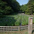 Photos: 【生田緑地の菖蒲園】1