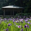 Photos: 【生田緑地の菖蒲園】3