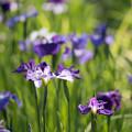【生田緑地の花菖蒲(紫)】2
