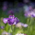 Photos: 【生田緑地の花菖蒲(紫)】3