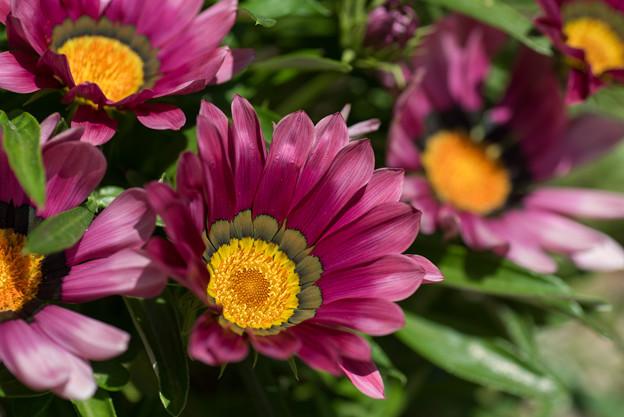 【庭に咲く花(ガザニア)】(2)