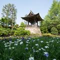 Photos: 【正覚寺の花菖蒲と鐘】